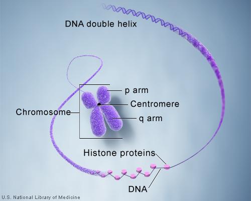 chromosomestructure