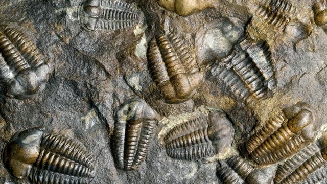تصویری از فسیل های تریلوبیت (Trilobite) ،نوعی موجود بند پای خرچنگی که حدود 545 میلیون سال پیش در دوره کامبرین در دریا می زیست.