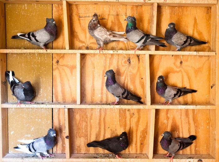 PW-2014-07-04-Woo-pigeons