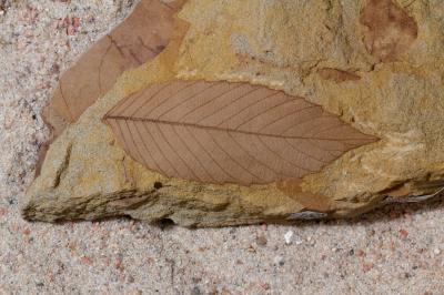 در این تصویر یک نمونه از فسیل گیاهی مربوط به اواخر دوره کرتاسه را مشاهده می کنید.