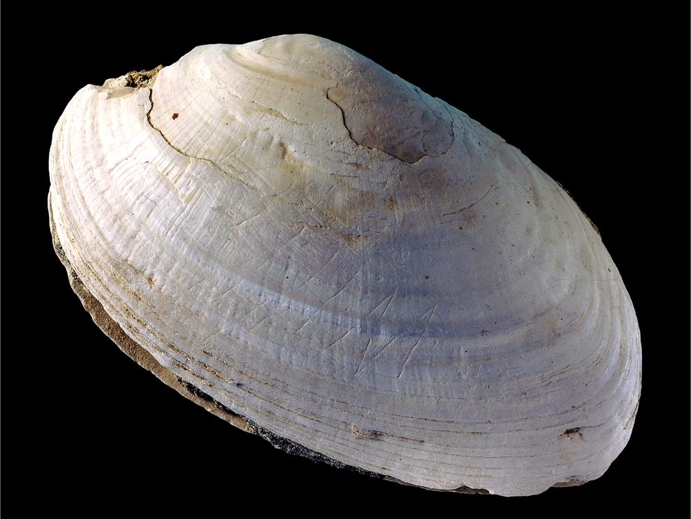 engraved-shell-homo-erectus-01_86517_990x742
