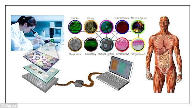 گرافیکی از روند پروژه ی دارپا برای شبیه سازی اندام بدن انسان روی تراشه