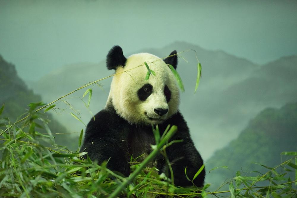تصویری از یک پاندا در باغ وحش واشنگتن، کمتر از 2500 پاندای بالغ در طبیعت باقی مانده است.