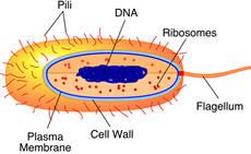 پروکاریوت ها دسته از موجودات زنده تک سلولی هستند که سلول های آنها فاقد هسته مشخص ( karyon ) و یا هر اندامک غشا دار دیگر می باشد.