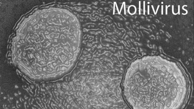 تصویری از مولی ویروس 30 هزار ساله که تنها زیر نور میکروسکوپ قابل رویت است و اندازه آن 0.5 میکرون است.