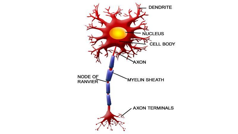 سیگنال های عصبی، بین مناطق بدون معرض و مناطق دارای غلاف میلین جهش می کنند.