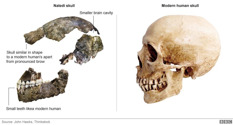 مقایسه ی استخوان جمجمه ی انسان نالدی و انسان مدرن