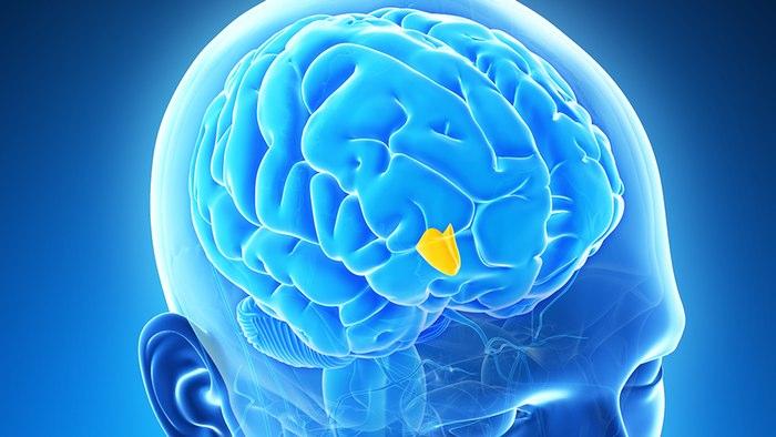 در این تصویر بخش هیپوتالاموس مغز انسان با رنگ زرد مشخص شده است.