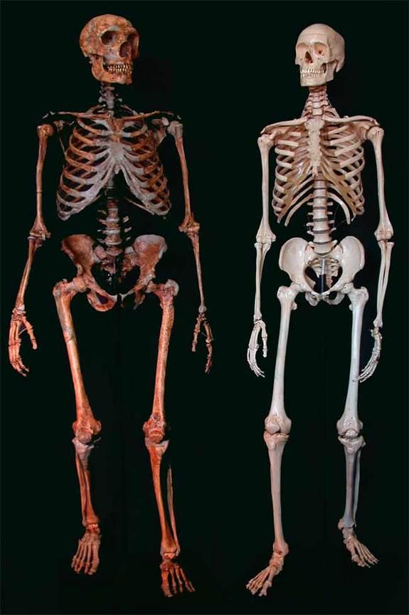 مقایسه اسکلت انسان های مدرن و اسکلت نئادرتال ها. عکس از کی.ماوباری، بازسازی: جی. ساویر و بی مالی, کپی رایت: ایان تاتیرسال.