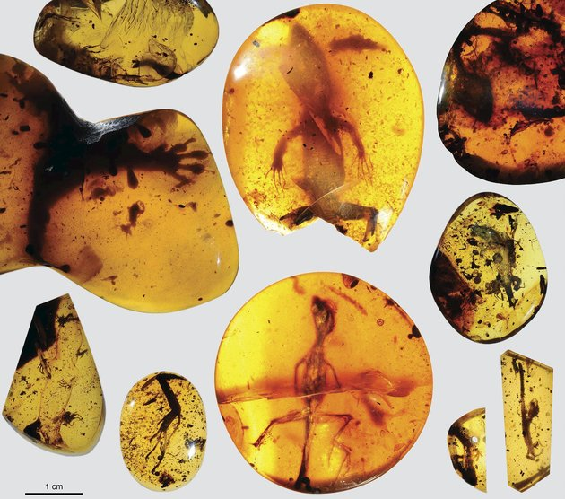 Handout photo of various lizard specimens preserved in ancient amber from present-day Myanmar in Southeast Asia