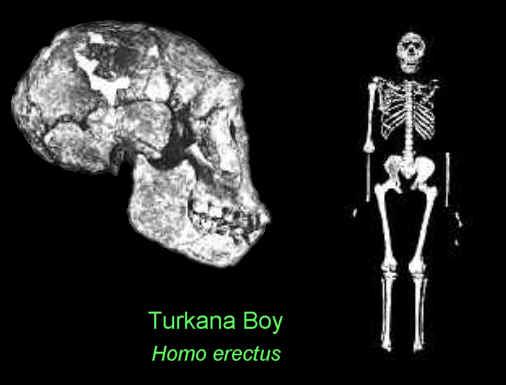 Turkana Boy