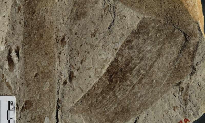 فسیل چند سلولی از یک سنگ ِ 1.56 میلیارد ساله در شمال چین یافت شد.