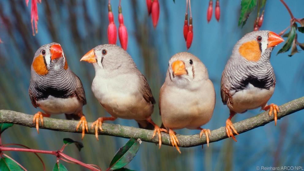 تصویری از پرنده های فنچ