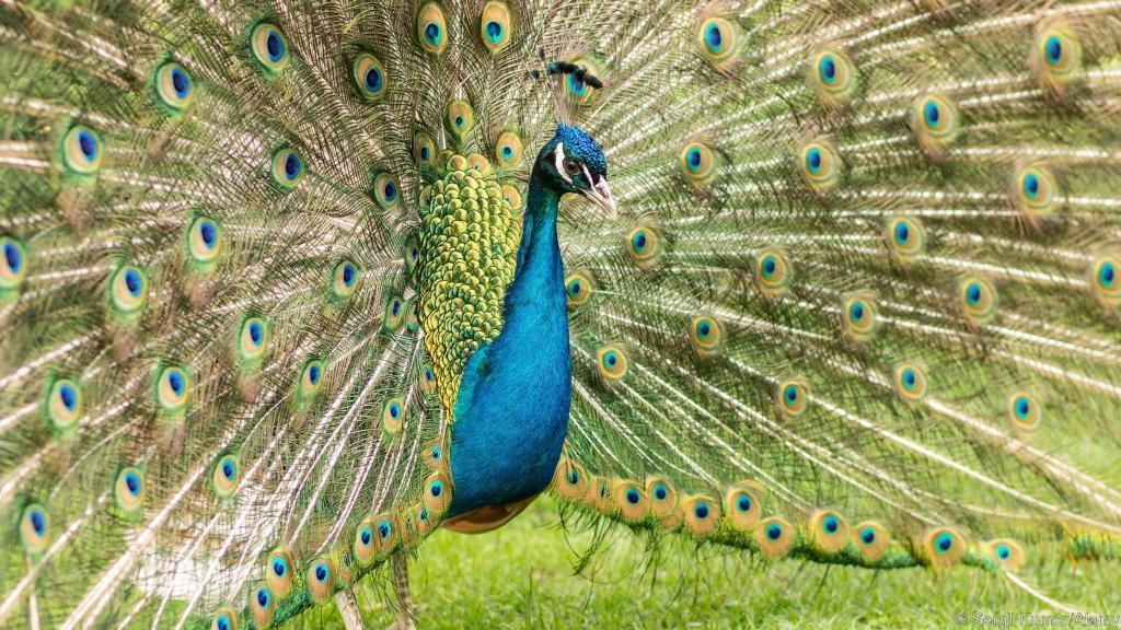 زیبایی طاوس نر