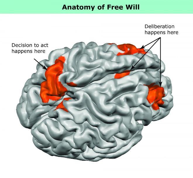 تصویری از مغز انسان، که یافته های محققان در رابطه با محل فعالیت های مربوط به تصمیم گیری آزادانه را نشان می دهد.