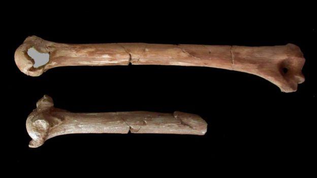 یک شکستگی در استخوان بازوی لوسی در این تصویر دیده می شود