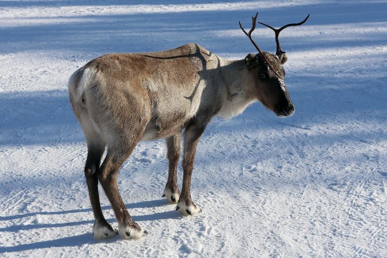 Reindeer_Ukonjärvi-Inarijärvi_Finland_07