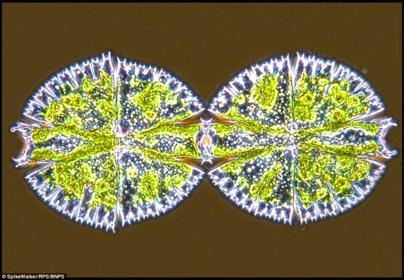 تصویر تقسیم سلولی یک «دسمید». دسمید نوعی جلبک تکسلولی آب شیرین است.