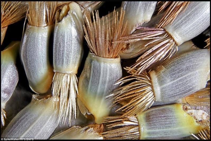 تصویری از دانههای آفتابگردان