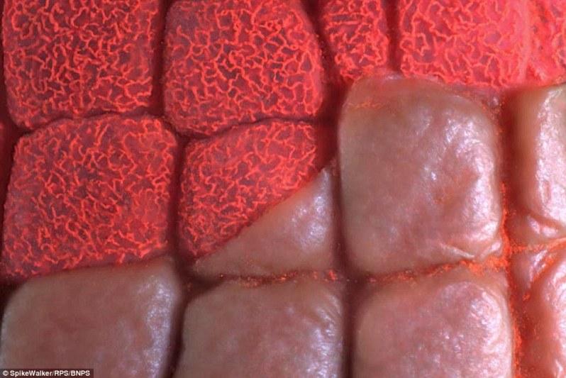 این تصویر هم نمای میکروسکوپی از پوست کف پای یک جوجه غاز است که در آن لایه اپیدرم تا حدودی کنار زده شده تا بستر مویرگی داخل آن دیده شود.