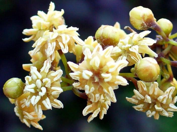 تصویری از گل نایاب آمبورلا