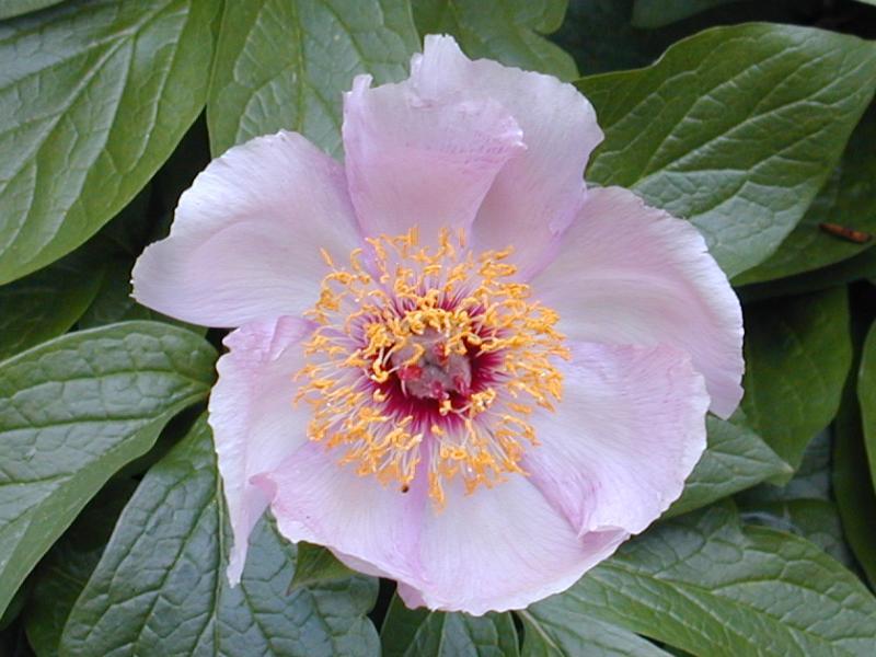 تصویری از گل صد تومانی(Paeonia wittmanniana)