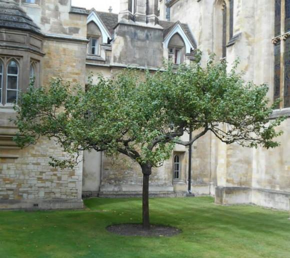 نهال گرفته شده از درخت مشهوری که نیوتن با الهام از آن گرانش را کشف کرد.