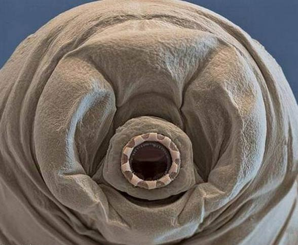 tardigrades6