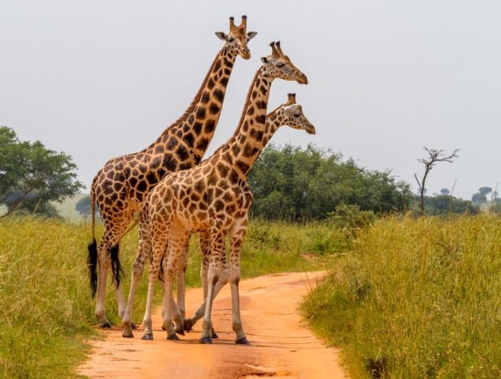 giraffe-family