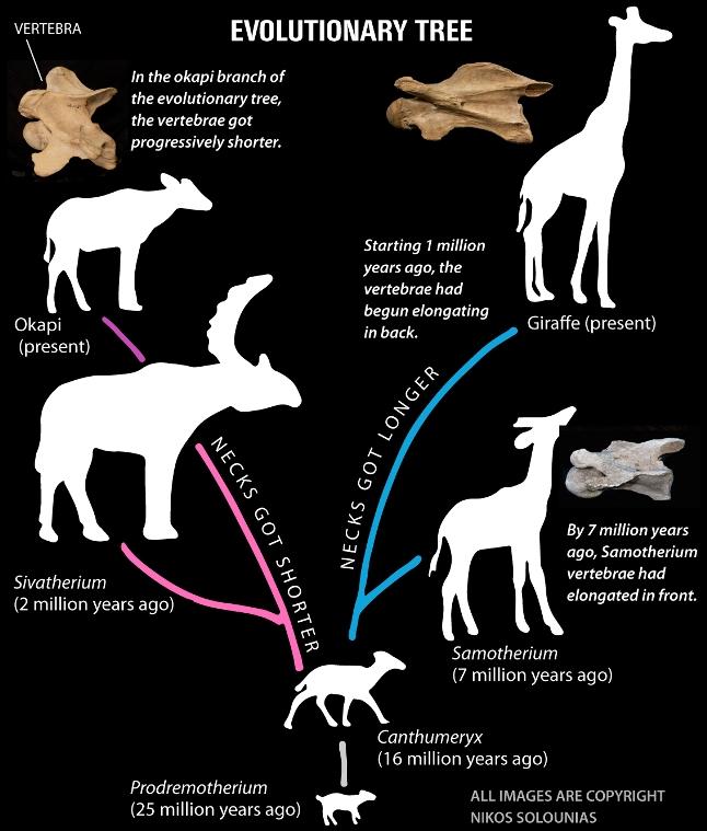اجداد زرافه به دو شاخه تکاملی تقسیم شده اند: یکی منجر به اُکاپی با گردن کوتاه و شاخه دیگر منجر به زرافه با گردن بلند شده
