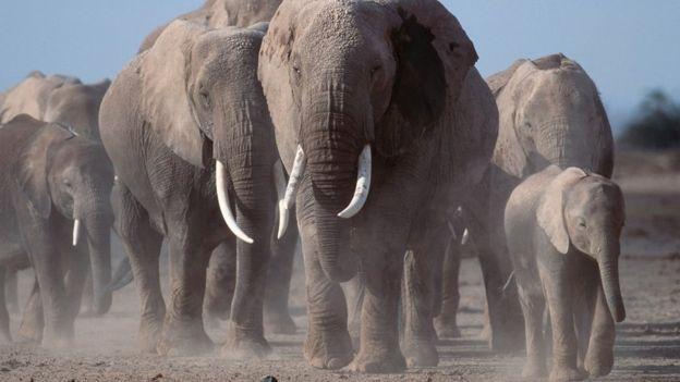 تعداد فیلهای آفریقایی به دلیل شکار به شدت کم شده
