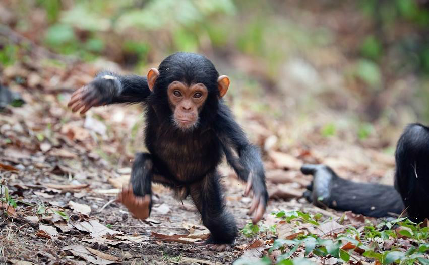 baby-chimpanzee