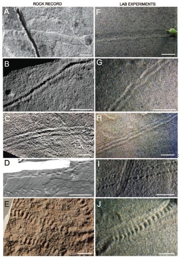 تصاویر سمت چپ اثرات فسیل های دوره ادیاکاران را نشان می دهد و تصاویر سمت راست رد ِ پای ایجاد شده در مخزن موج با سنگدانه های میکروبی را نشان می دهد. مقیاس نوار سفید 1 سانتی متر است.