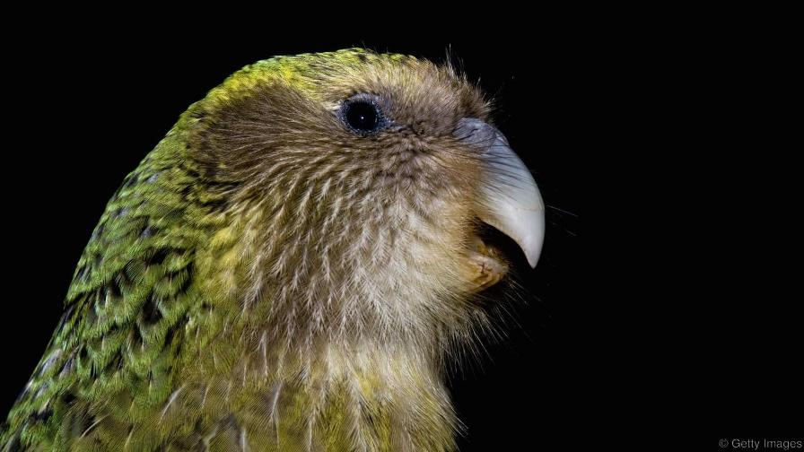 تصویر کاکاپو، نوعی مرغ غیر پرنده نیوزیلندی