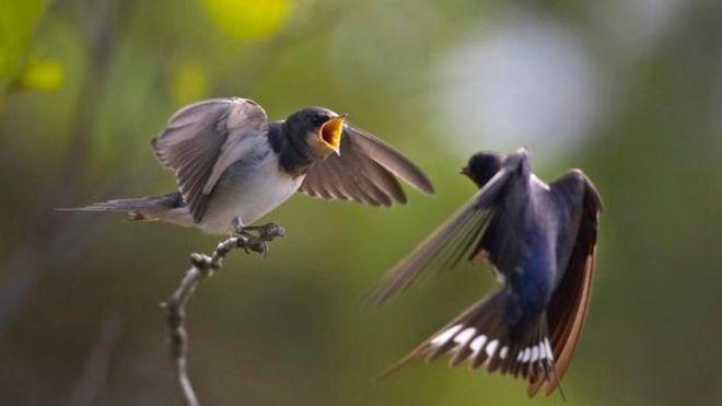 تحقیق انجام شده دربرگیرنده گونههایی مانند چلچله است که به مقاصد دور مهاجرت میکنند.