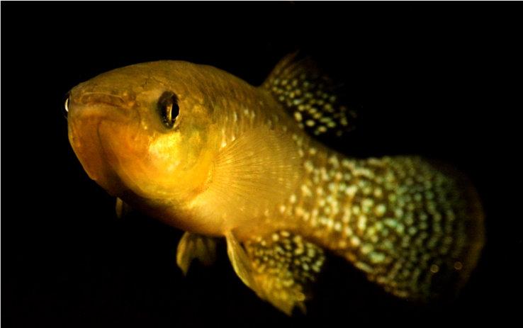 کپوردندانهای تخمگذار که دائما خود را با شرایط محیطی تغییر می دهد تا زنده بماند
