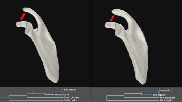 تغییر استخوان کتف در طی میلیونها سال؛ شکاف استخوان تنگتر شده است