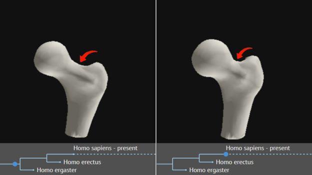 تغییر گردن استخوان ران در طول میلیونها سال؛ گردن استخوان پهنتر شده است