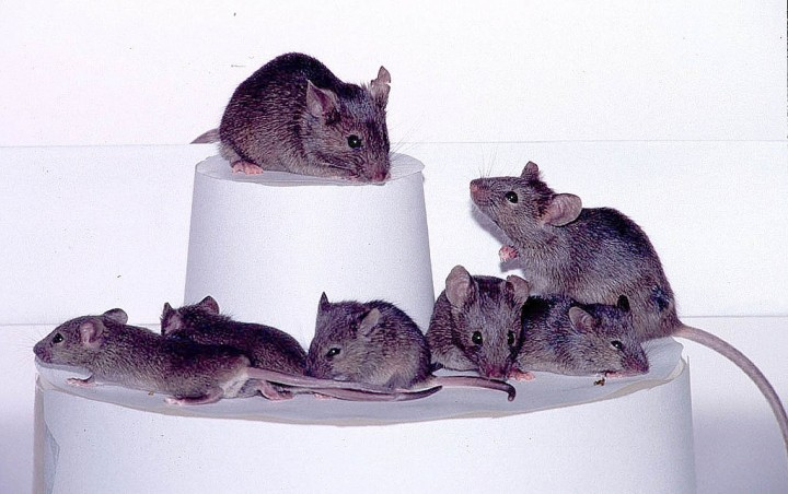 three-generations-of-cloned-mice