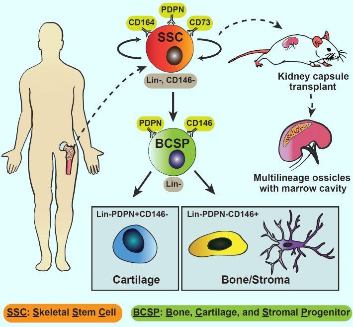 image e Human Skeletal Stem Cells