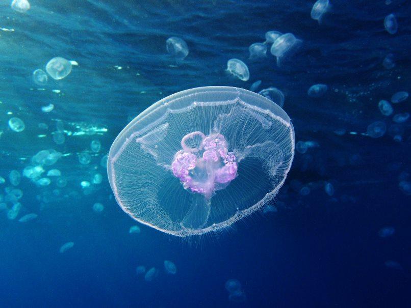 image e Moon Jellyfish