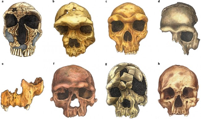 facial skull evolution
