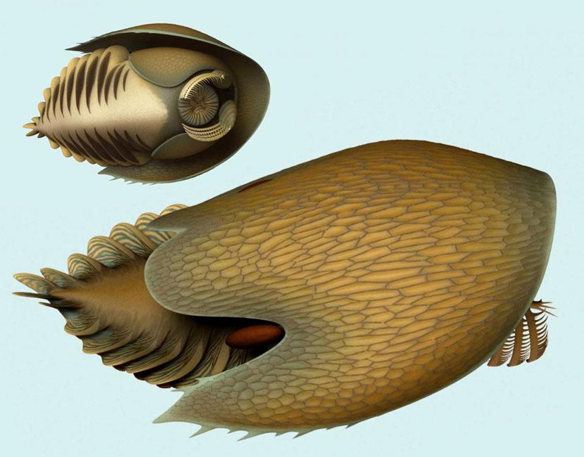 image e Cambroraster falcatus