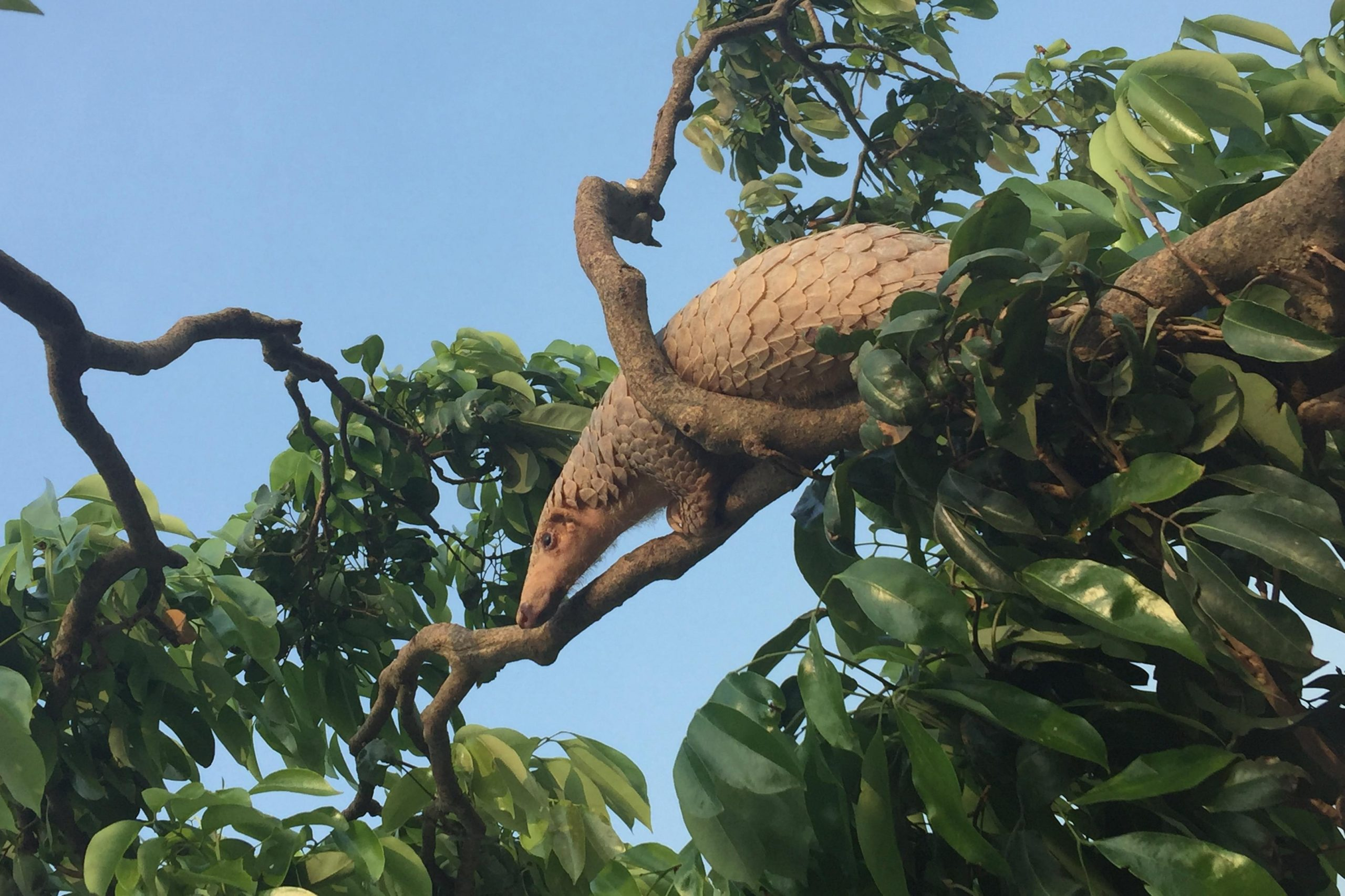 Malay Pangolin Climbing Tree scaled