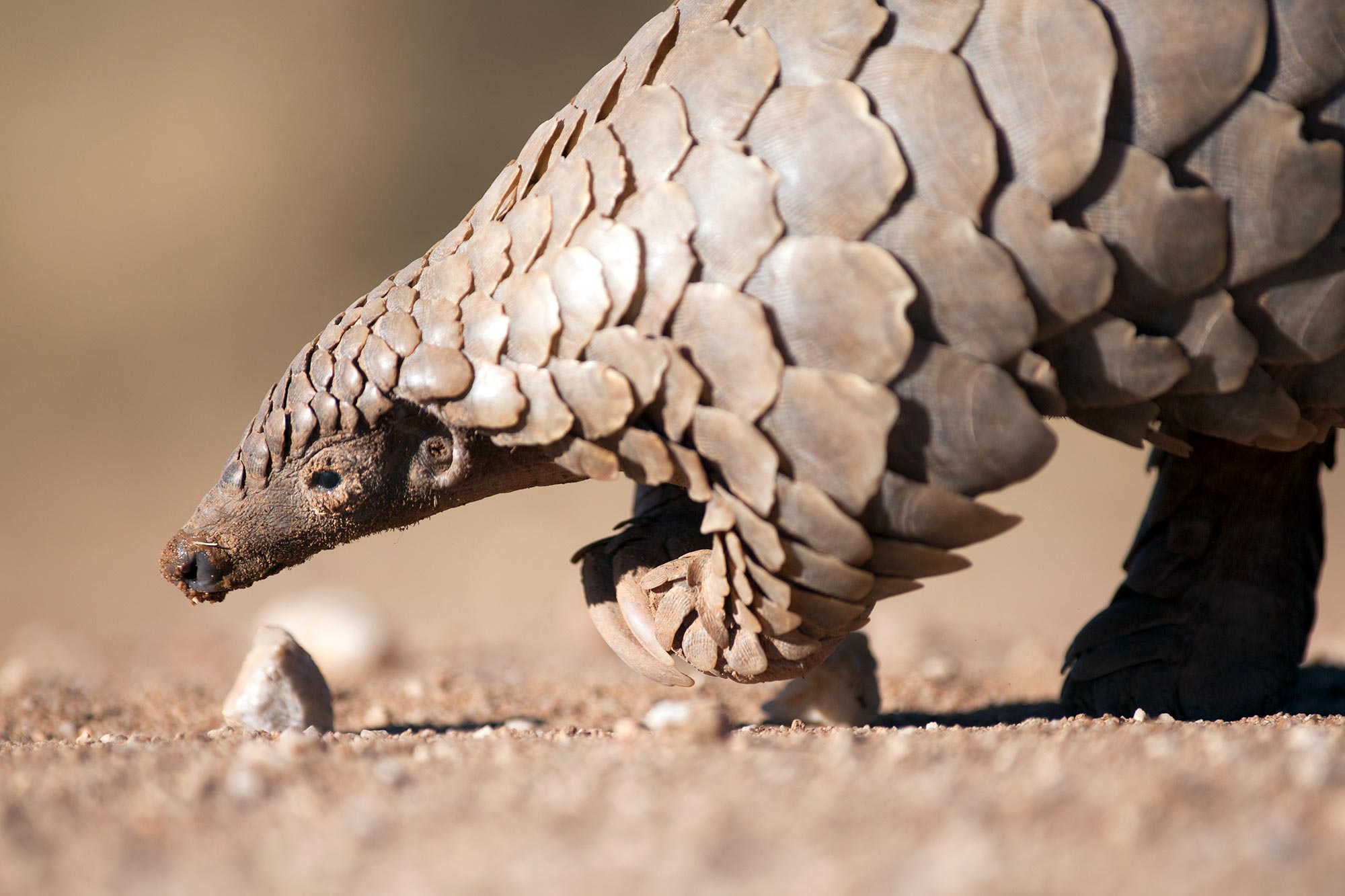 Pangolin Searching for Ants