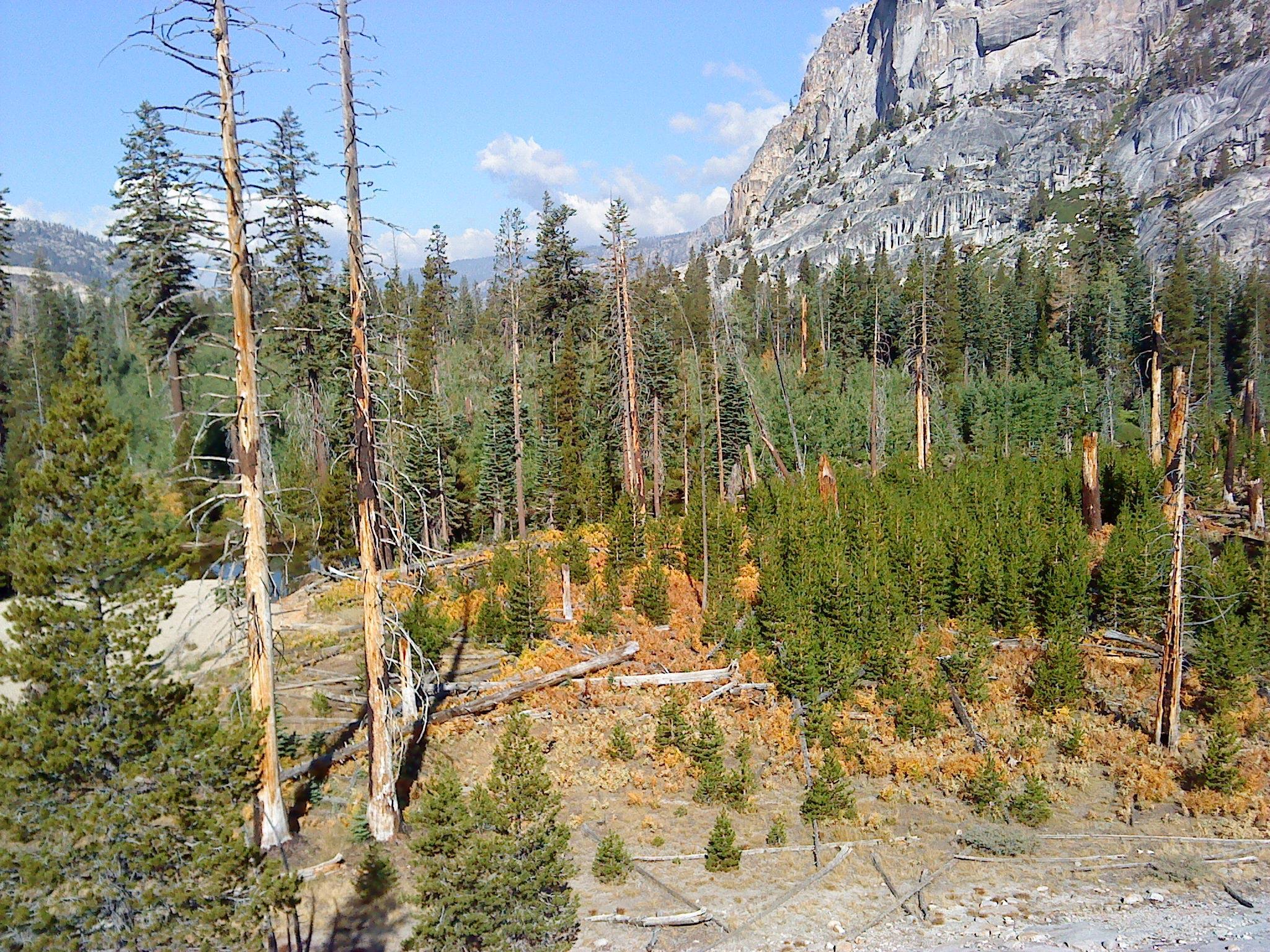 Pine Trees Tuolumne Valley of Yosemite National Park