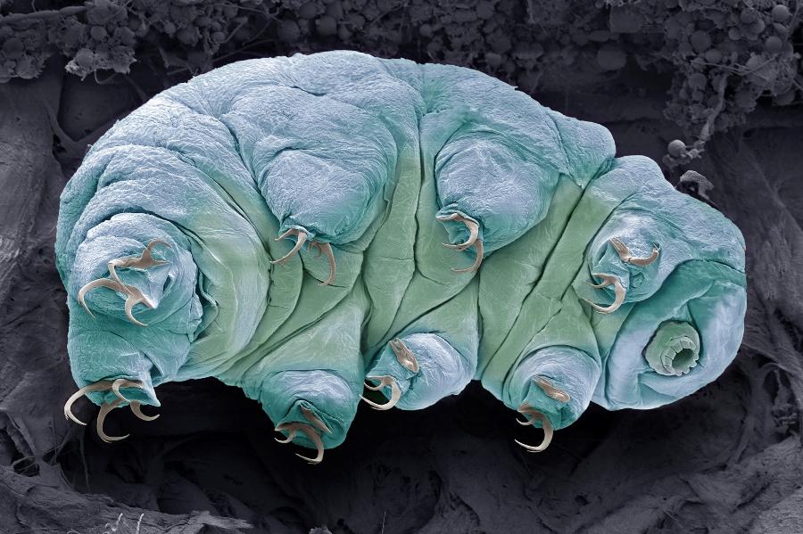 tardigrade water bear ew p fbcffbdbbbde
