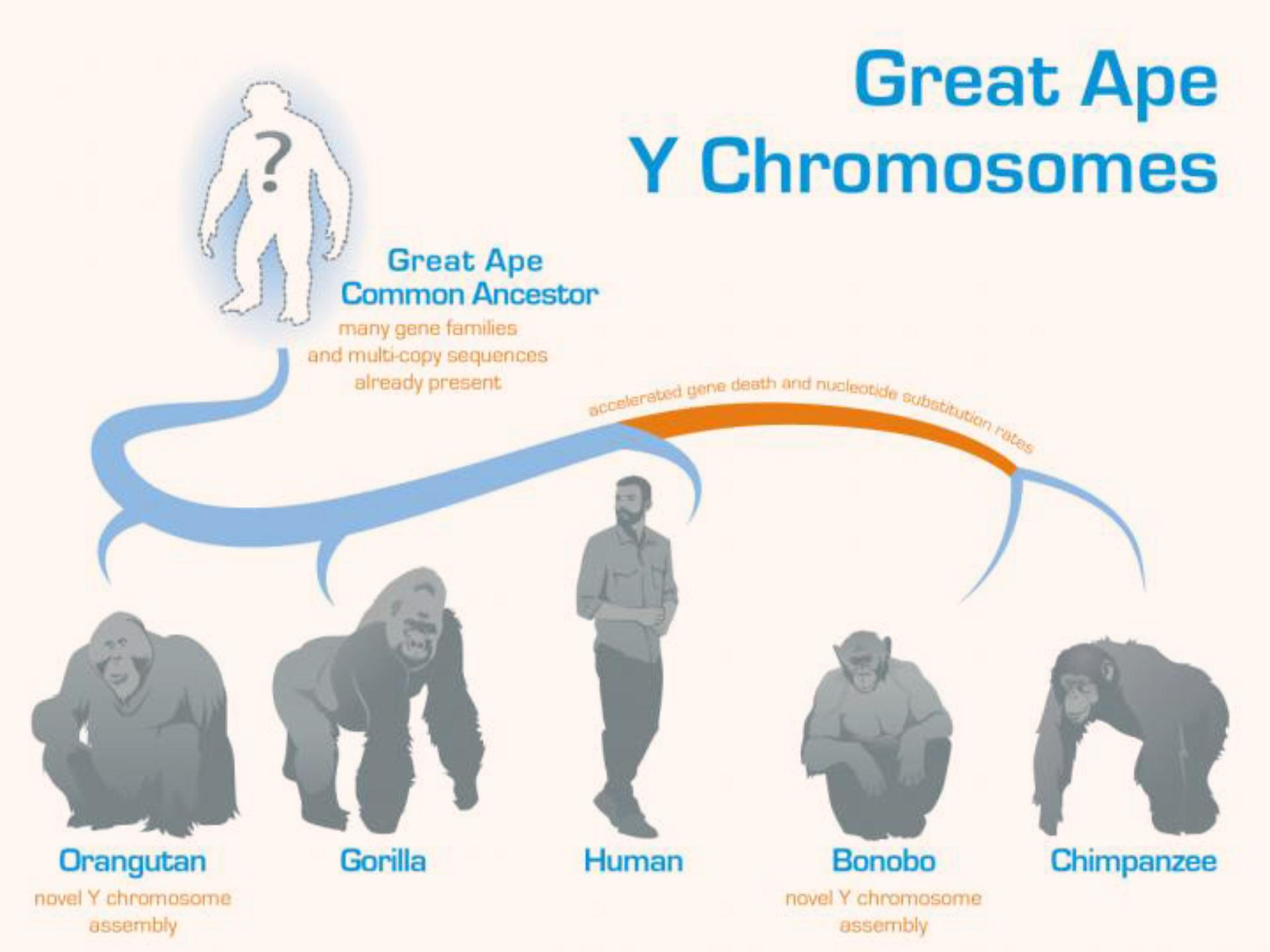 image e Great Ape Y Chromosomes
