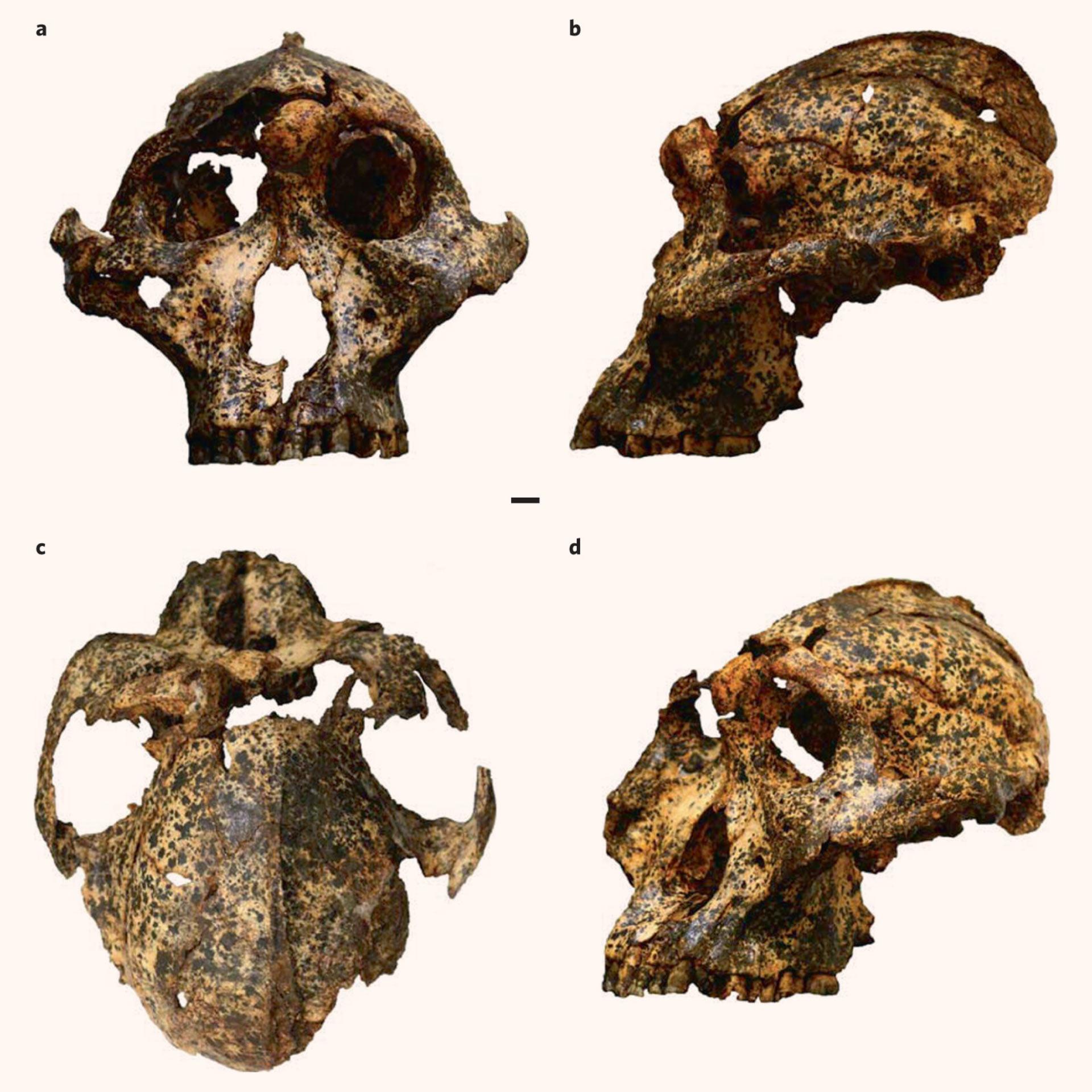 image e Paranthropus robustus