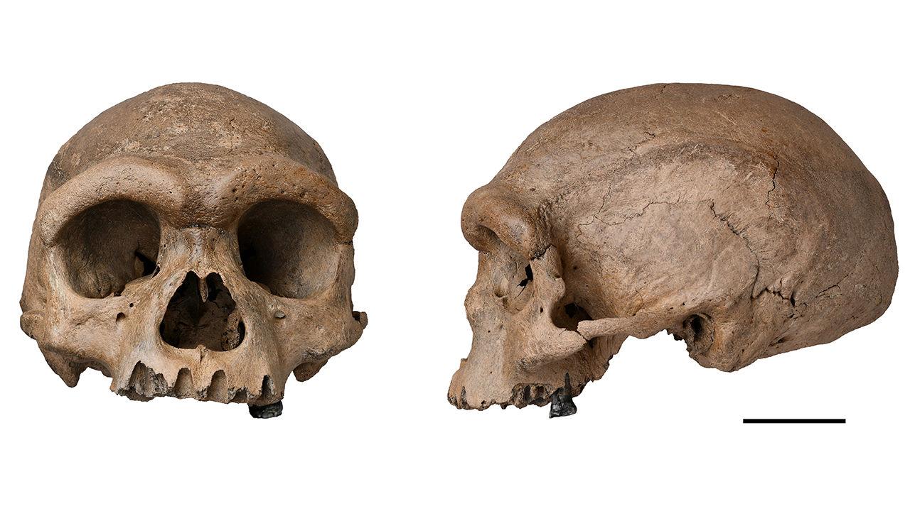 Hominin Skull x